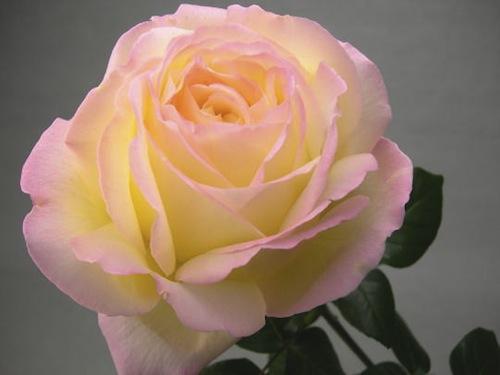 バラと平和憲法_b0084241_1982232.jpg