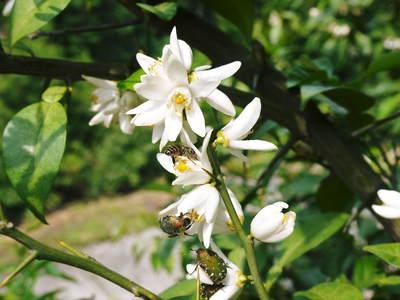 香り高き柚子(ゆず) 満開の柚子の花が咲き誇っていました!その1_a0254656_18321279.jpg