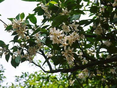 香り高き柚子(ゆず) 満開の柚子の花が咲き誇っていました!その1_a0254656_1883525.jpg