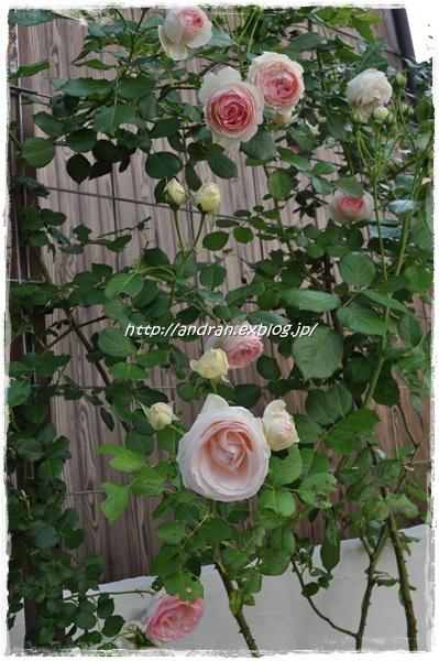 新入りのバラ アンクル・ウォルターとつるミミエデン_c0176271_0411333.jpg
