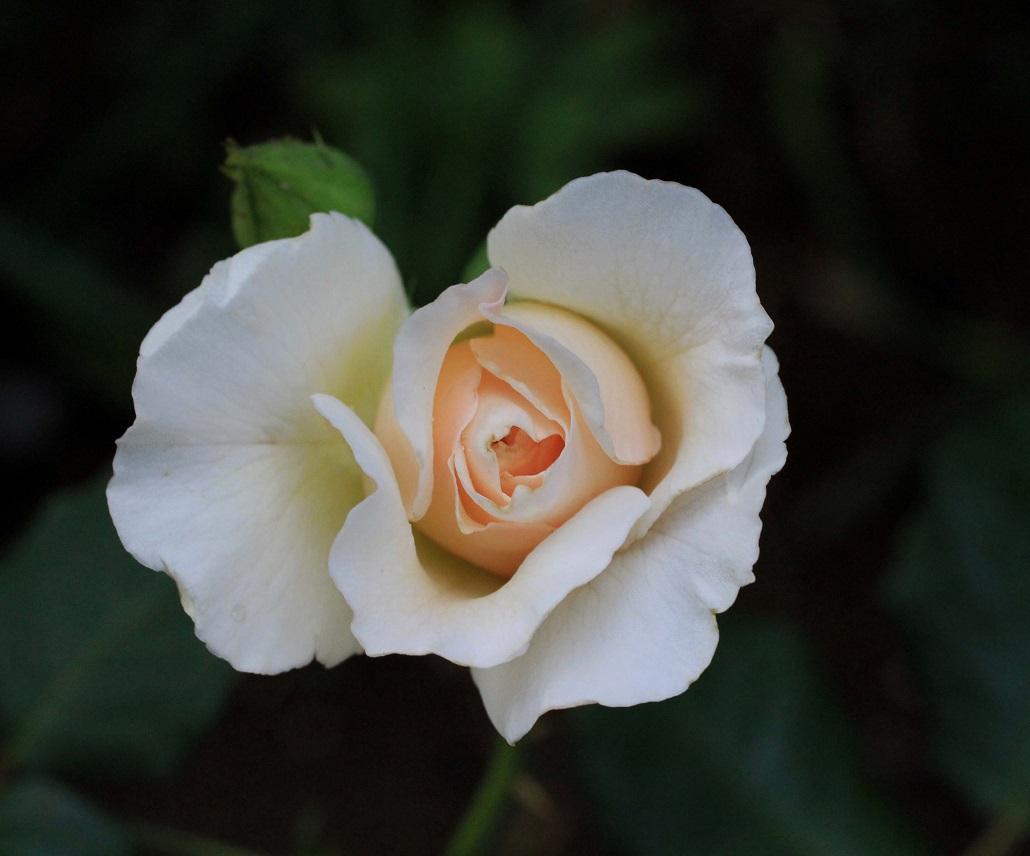 その一言に、毎日を生きています   ~薔薇満開~_a0107574_19364749.jpg
