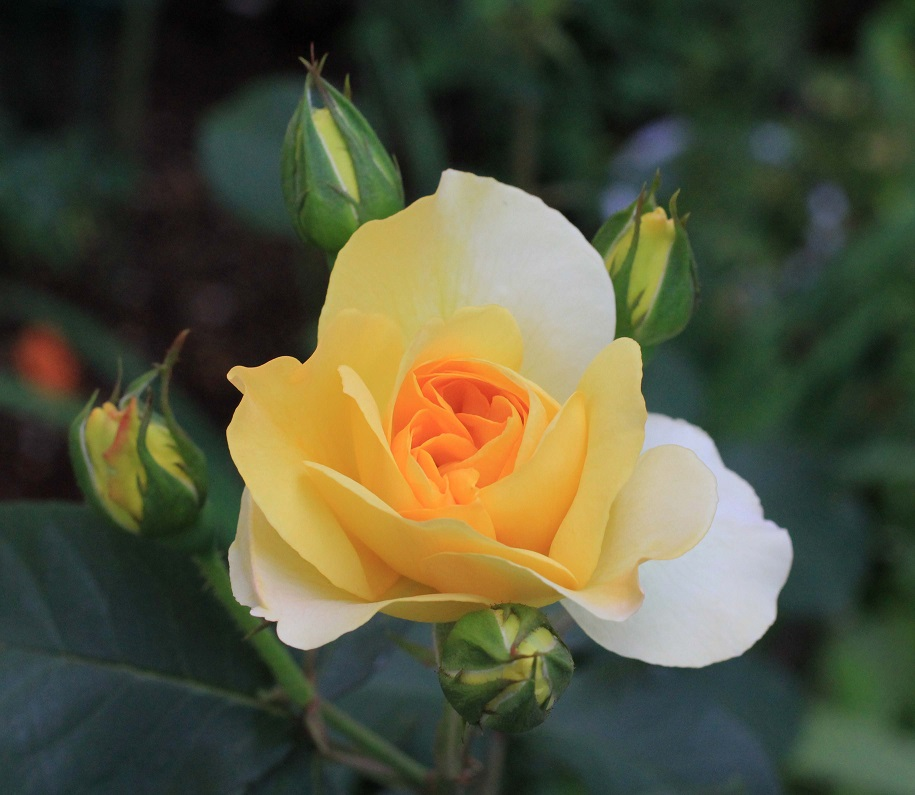 その一言に、毎日を生きています   ~薔薇満開~_a0107574_19365475.jpg