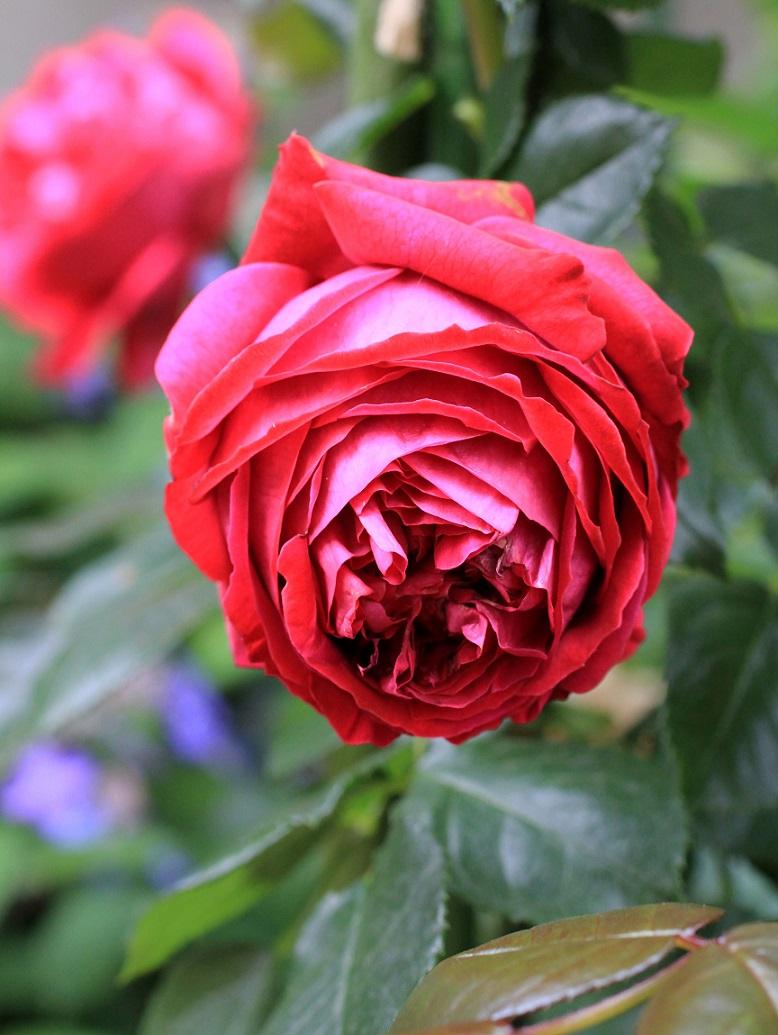 その一言に、毎日を生きています   ~薔薇満開~_a0107574_19370374.jpg