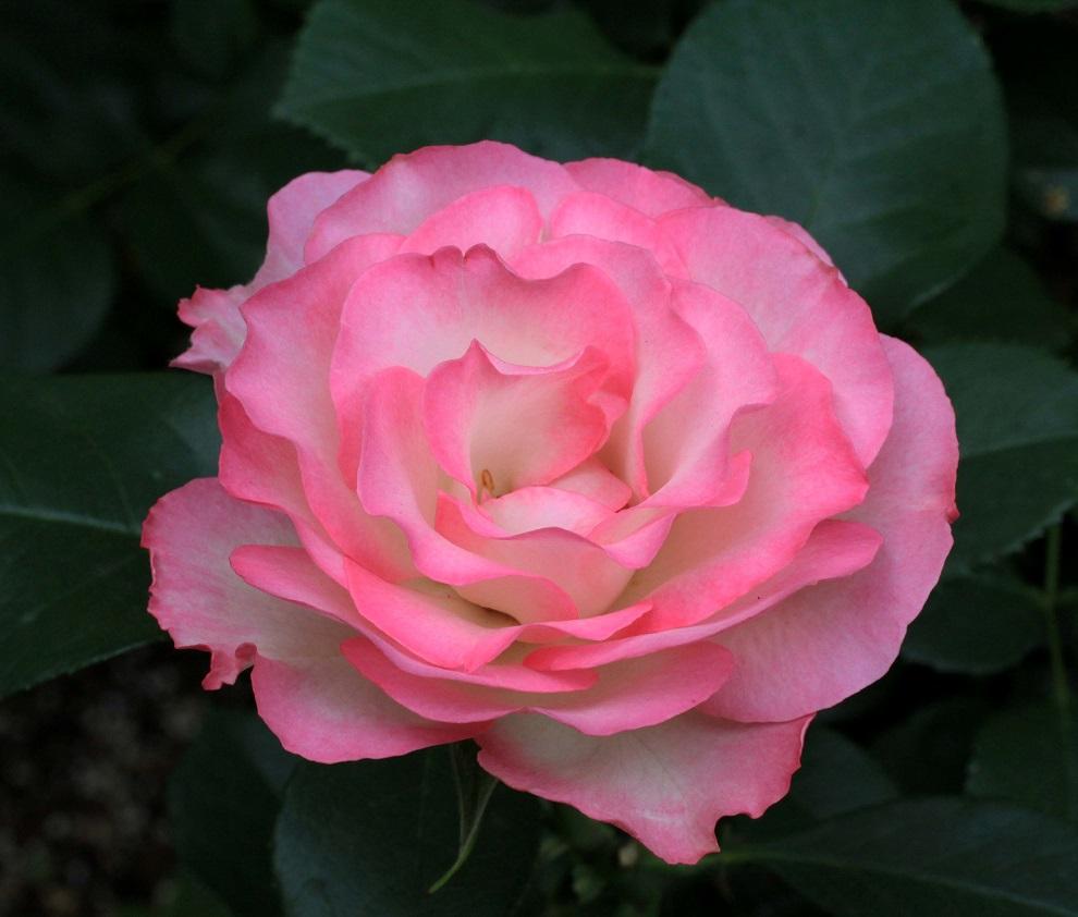 その一言に、毎日を生きています   ~薔薇満開~_a0107574_19371059.jpg