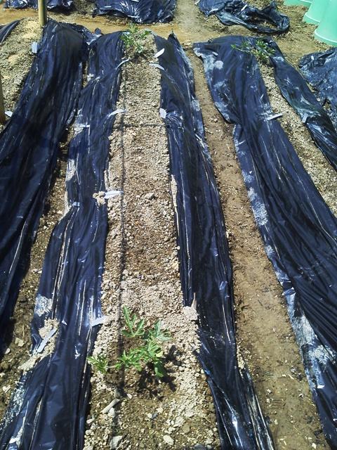 朝から、畑の追肥。_f0229190_20455611.jpg
