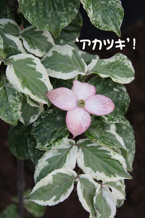 斑入り ヤマボウシ \'暁\' の花が咲いたったwww_b0200291_20145658.jpg