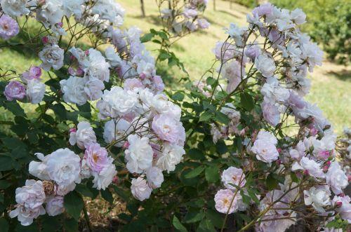 花のフィレンツェ散歩_f0106597_19391658.jpg