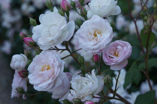 花のフィレンツェ散歩_f0106597_19415860.jpg