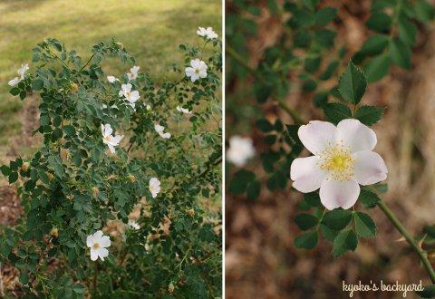 花壇と菜園の様子と庭作業(5月下旬)_b0253205_2134292.jpg