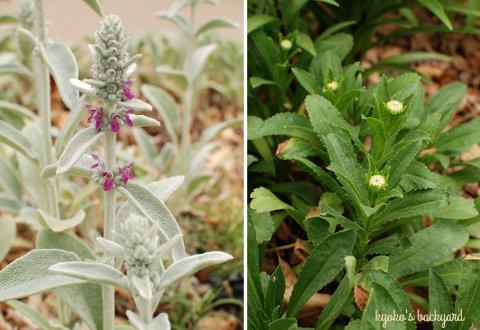 花壇と菜園の様子と庭作業(5月下旬)_b0253205_218112.jpg