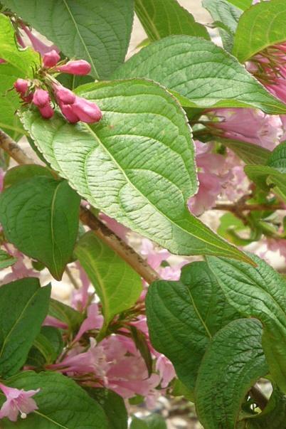 バラが咲く前に_a0214206_1111115.jpg