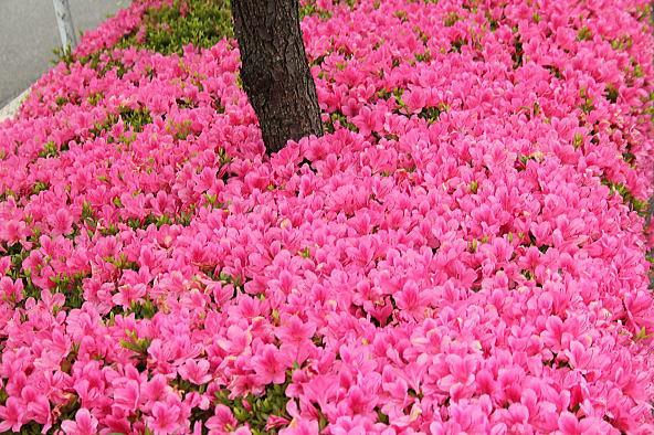 花のじゅうたん_d0070316_11450611.jpg