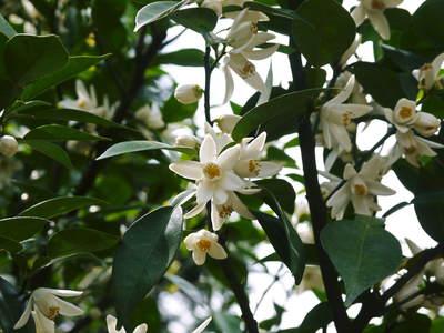 香り高き柚子(ゆず) 満開の柚子の花が咲き誇っていました!その2_a0254656_17242795.jpg
