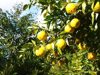 香り高き柚子(ゆず) 満開の柚子の花が咲き誇っていました!その2_a0254656_17502493.jpg
