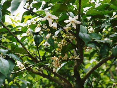 香り高き柚子(ゆず) 満開の柚子の花が咲き誇っていました!その2_a0254656_18125639.jpg