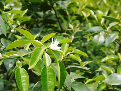 香り高き柚子(ゆず) 満開の柚子の花が咲き誇っていました!その2_a0254656_1823117.jpg