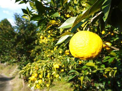 香り高き柚子(ゆず) 満開の柚子の花が咲き誇っていました!その2_a0254656_18322158.jpg