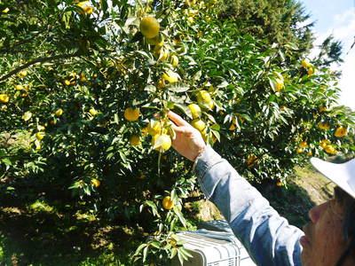 香り高き柚子(ゆず) 満開の柚子の花が咲き誇っていました!その2_a0254656_1836753.jpg