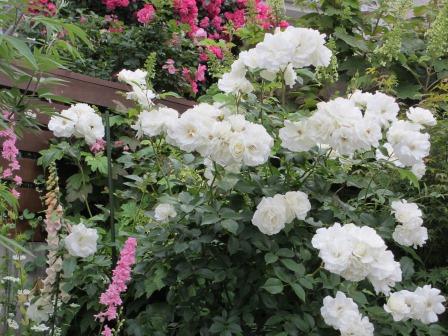 雨降り前の庭のお花たち_a0243064_19583187.jpg
