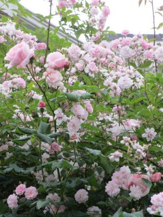 雨降り前の庭のお花たち_a0243064_20041762.jpg