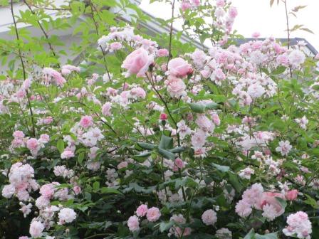 雨降り前の庭のお花たち_a0243064_20043111.jpg