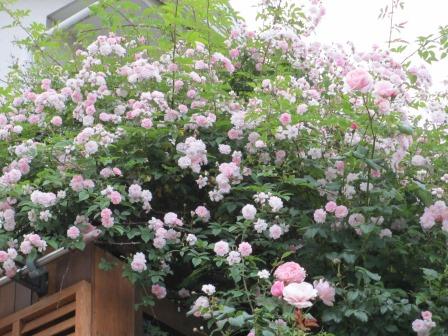 雨降り前の庭のお花たち_a0243064_20044885.jpg