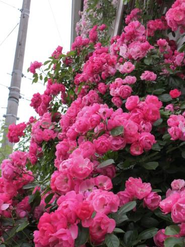 雨降り前の庭のお花たち_a0243064_20132618.jpg