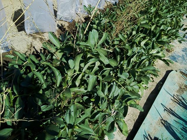 ソラマメもそろそろ収穫できそう~♪_f0229190_15312610.jpg