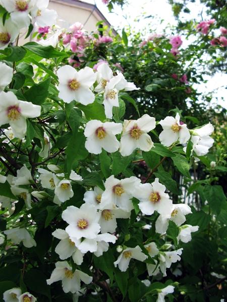 花の色は 移りにけりな ・・・・_f0129726_22131834.jpg