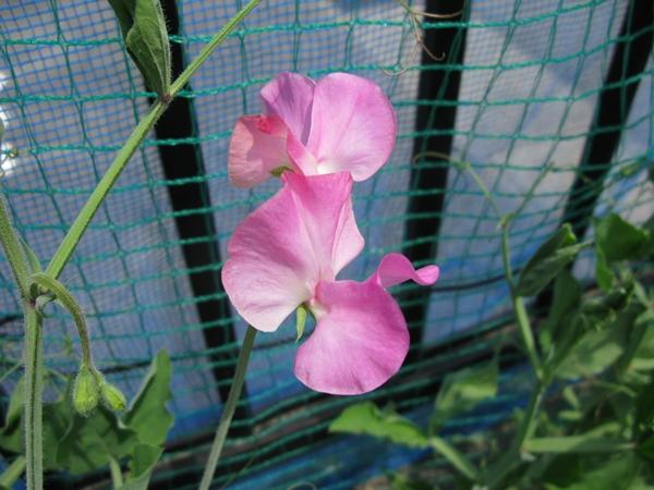 花の色は 移りにけりな ・・・・_f0129726_22232121.jpg