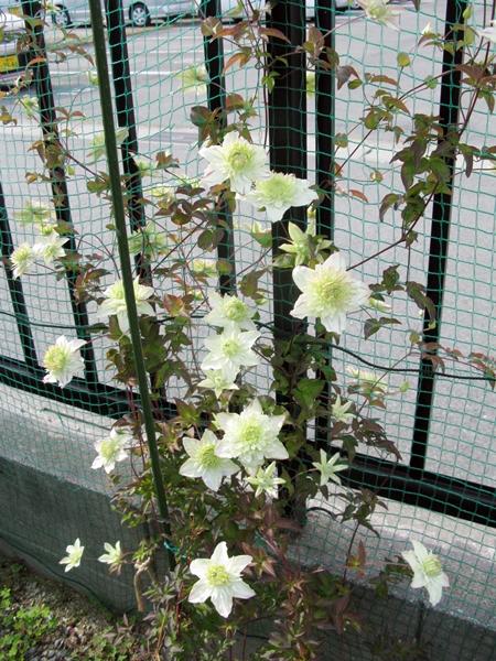 花の色は 移りにけりな ・・・・_f0129726_22281880.jpg