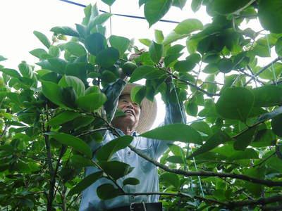 太秋柿 古川果樹園 柿の花と惜しまぬ手間ひまのお話_a0254656_18295175.jpg