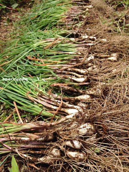 ラッキョウ収穫!_f0258061_13132972.jpg