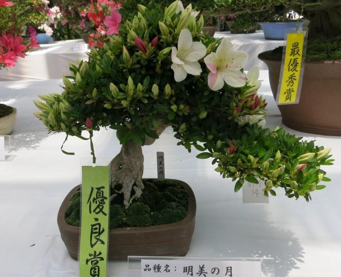さつき展(花フェスタ記念公園)_e0233674_20211244.jpg