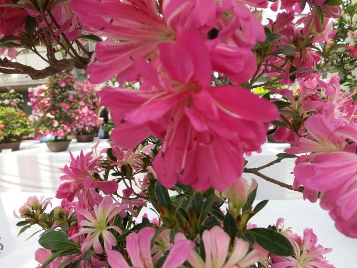さつき展(花フェスタ記念公園)_e0233674_20212934.jpg