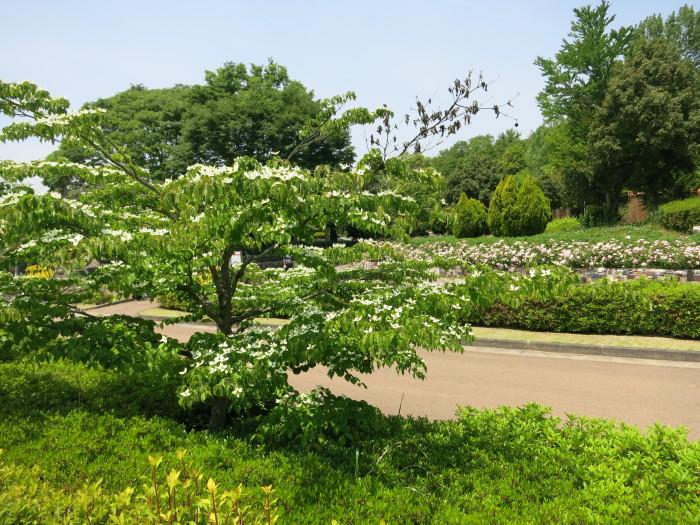 さつき展(花フェスタ記念公園)_e0233674_20223283.jpg