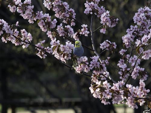 Sakura_e0169998_15483668.jpg