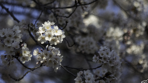 Sakura_e0169998_154847.jpg