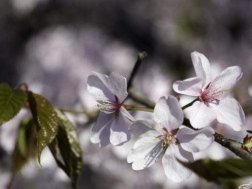 Sakura_e0169998_15512295.jpg