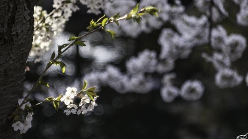 Sakura_e0169998_15514220.jpg