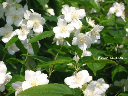 5月の白い花・・・☆_c0098807_21202910.jpg