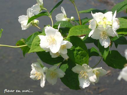 5月の白い花・・・☆_c0098807_2131924.jpg