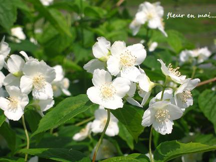 5月の白い花・・・☆_c0098807_21343576.jpg