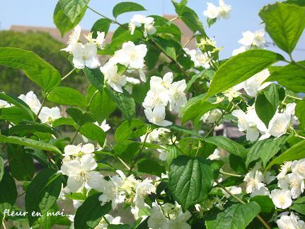 5月の白い花・・・☆_c0098807_2140173.jpg
