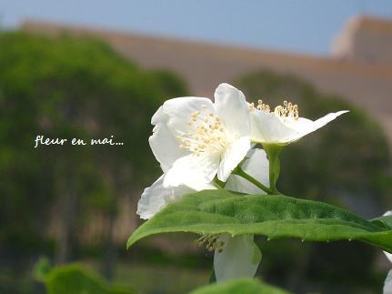 5月の白い花・・・☆_c0098807_2141199.jpg