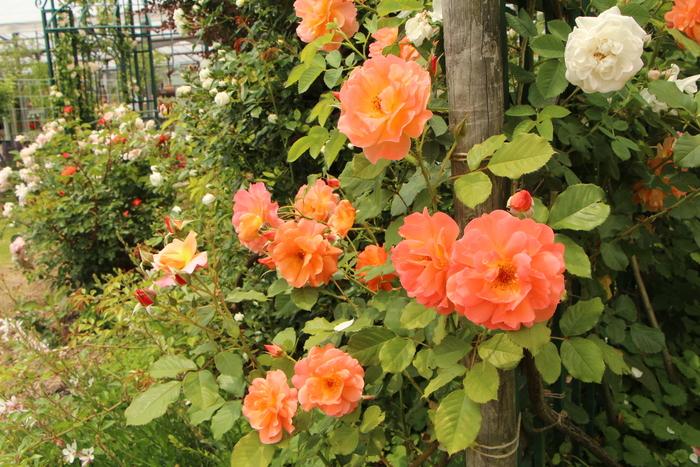 「美野里 フェイバリット ガーデン」  & 素晴らしいイングリッシュ・ガーデン O邸 _d0150720_1418277.jpg