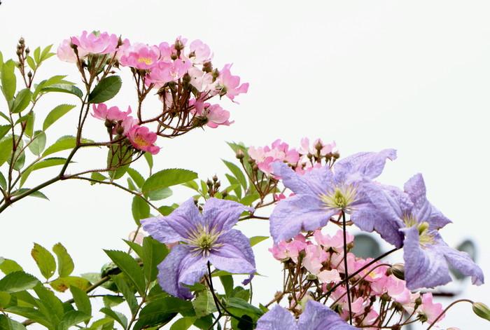 「美野里 フェイバリット ガーデン」  & 素晴らしいイングリッシュ・ガーデン O邸 _d0150720_1419136.jpg