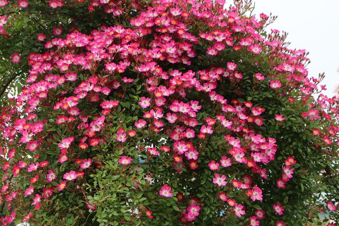 「美野里 フェイバリット ガーデン」  & 素晴らしいイングリッシュ・ガーデン O邸 _d0150720_14212729.jpg