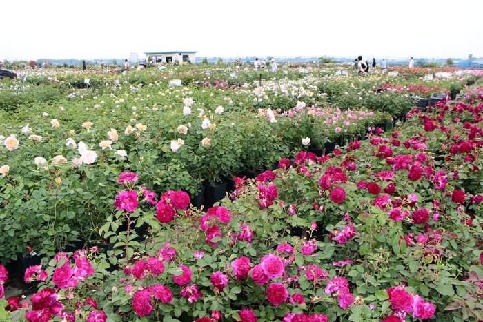「美野里 フェイバリット ガーデン」  & 素晴らしいイングリッシュ・ガーデン O邸 _d0150720_1422429.jpg