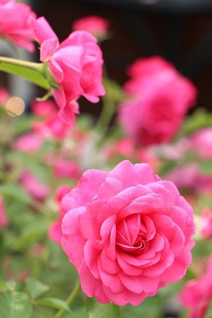 「美野里 フェイバリット ガーデン」  & 素晴らしいイングリッシュ・ガーデン O邸 _d0150720_1425204.jpg